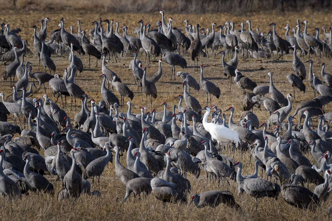 A large group of Sandhill Cranes standing on a brown harvested corn field with one white whooping Crane among them.