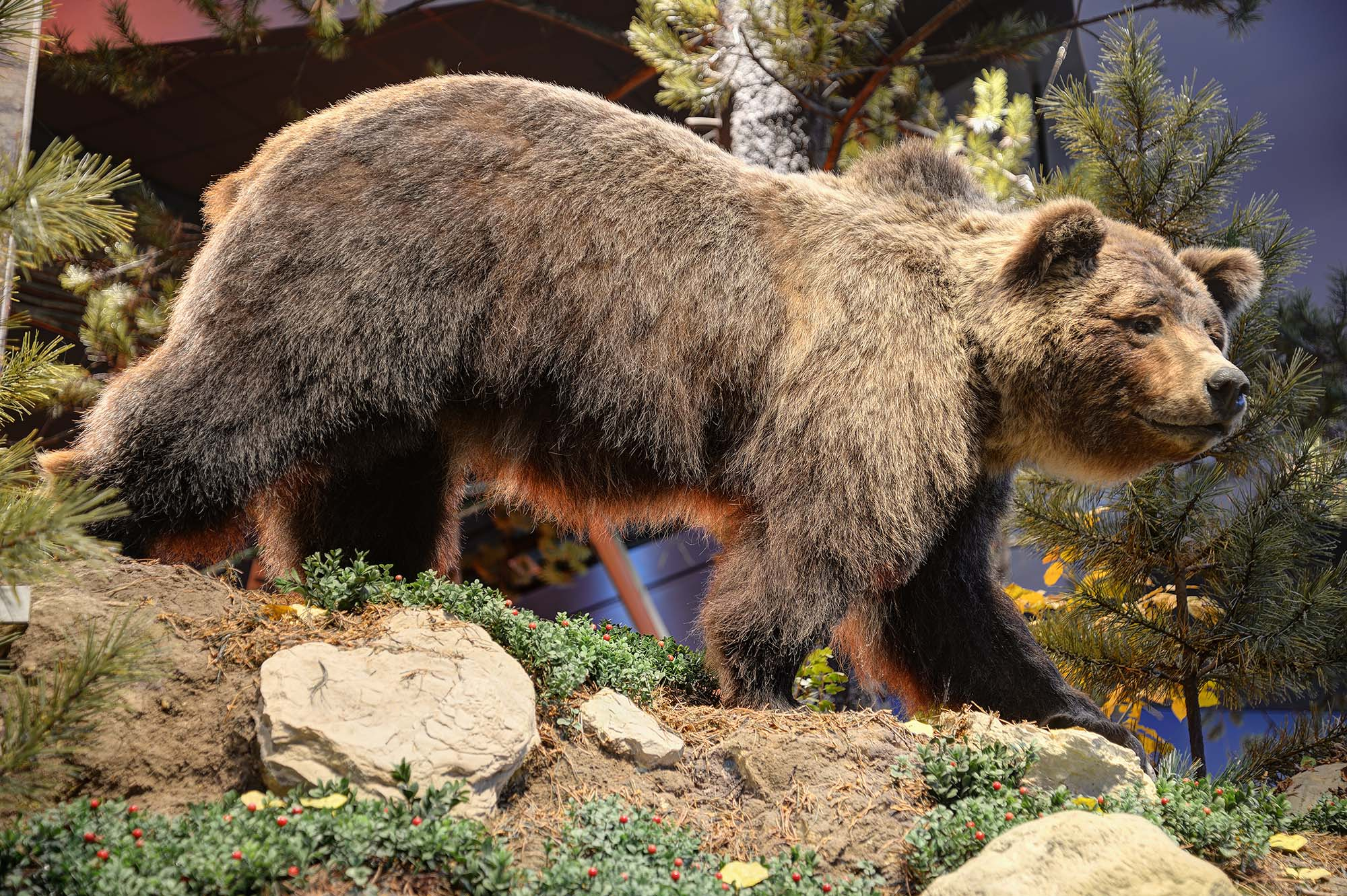 Bear 104 in the Draper Natural History Museum