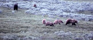 Grizzly bears in Hayden Valley, Yellowstone National Park. NPS photo by John Good, 1964.