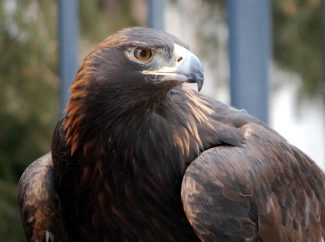 Head and shoulders of a large Golden Eagle