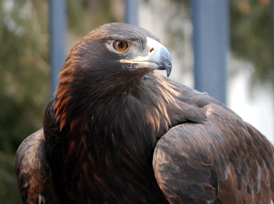 The head and shoulders of the Draper Museum Raptor Experiences large Golden Eagle.