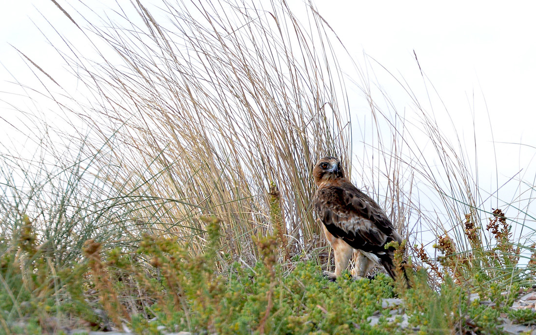 The small Little Eagle perched on the ground in the grasses.