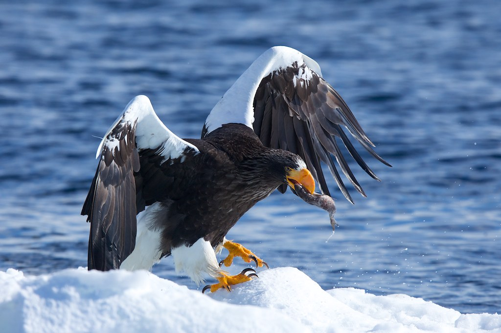A large Steller's Sea Eagle landing with a fish in its beak.
