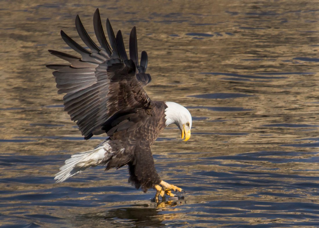 A large Bald Eagle, talons reaching toward the water's surface.