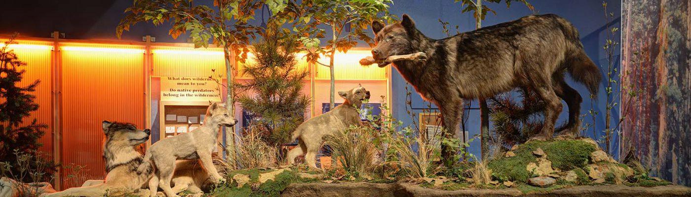 Draper, wolf exhibit