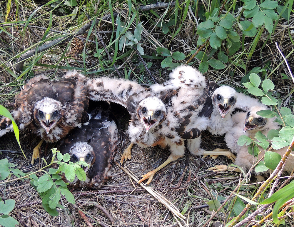 Young Northern Harriers shown to demonstrate nesting.