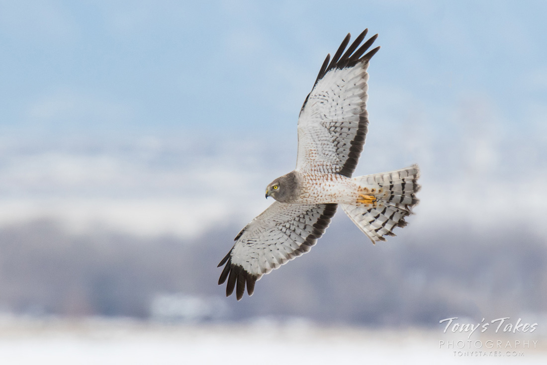 An adult Northern Harrier in flight to demonstrate the color characteristics of males.