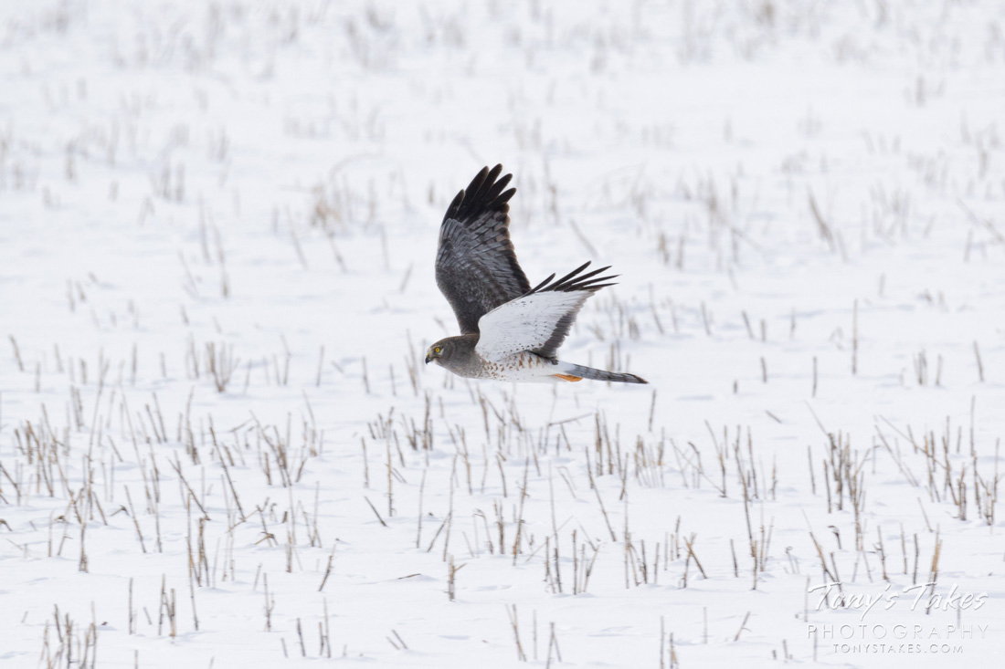 A photo of a male Northern Harrier illustrating why they may be called The  Gray Ghost.