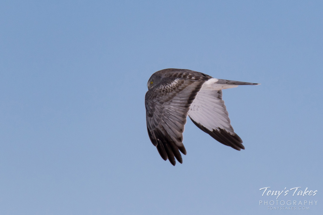 A Male Northern Harrier in Flight