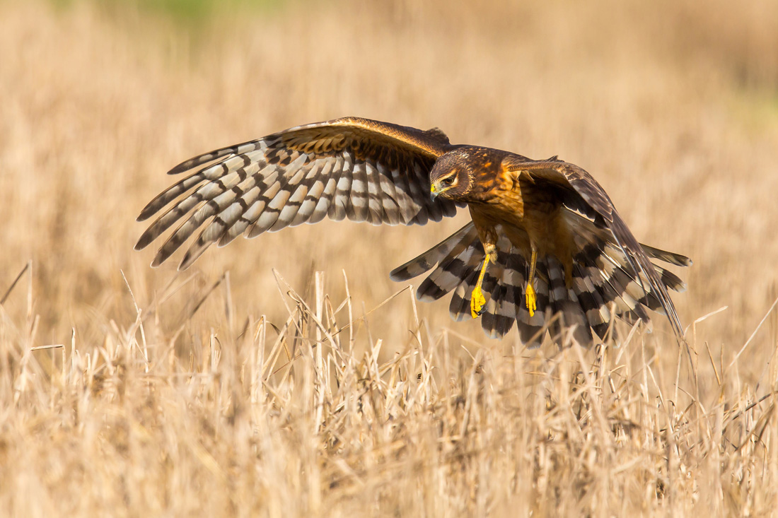 Demonstrating how a Northern Harrier hunts low over grassland.