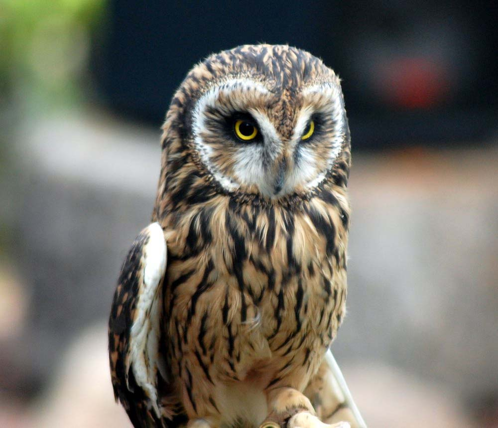 Draper Museum Raptor Experience: Amelia the short-eared owl