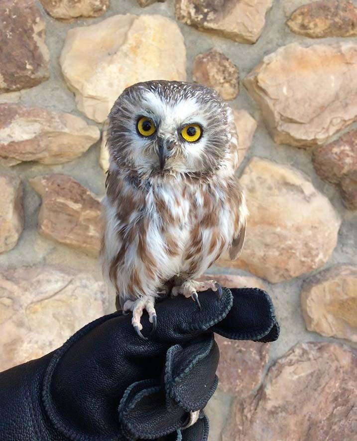Draper Museum Raptor Experience: Remington the saw-whet owl