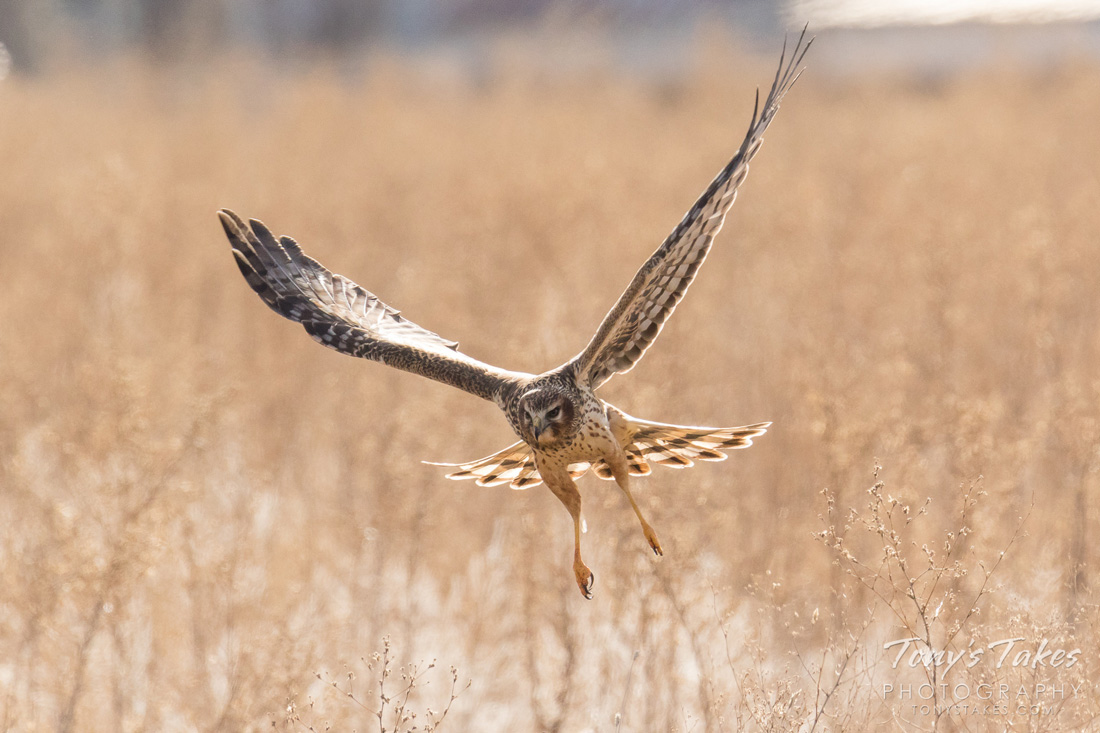 A female Northern Harrier  gliding over grassland to demonstrate the coloration of females.