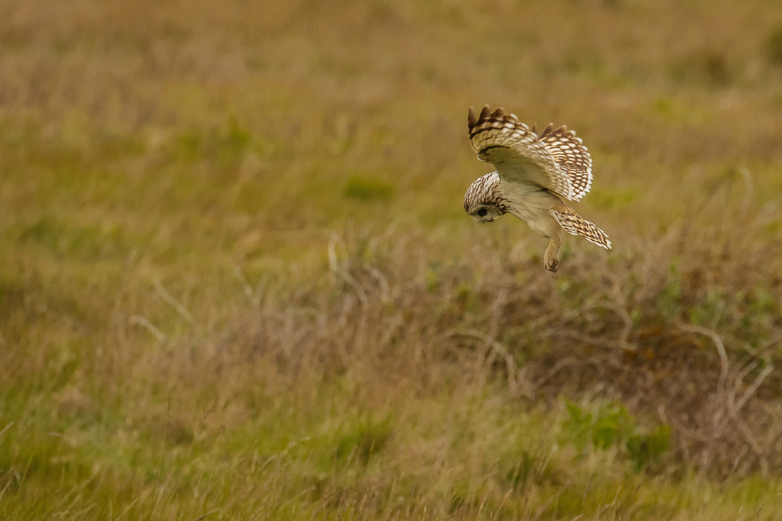 Demonstrating how a Short-eared Owl hunts over grassland.