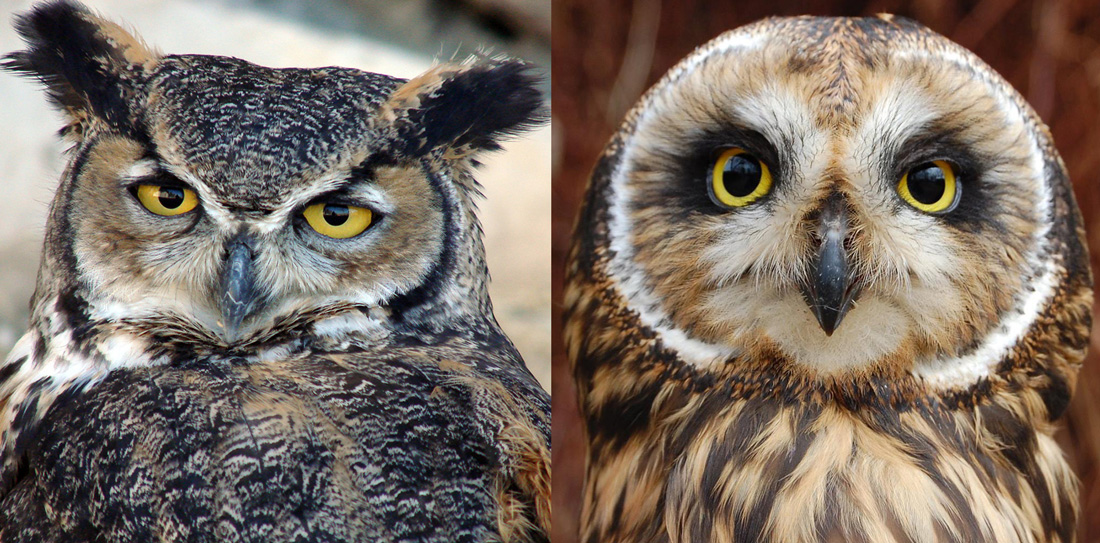 Comparing the faces of a Great Horned Owl and a Short Eared Owl.