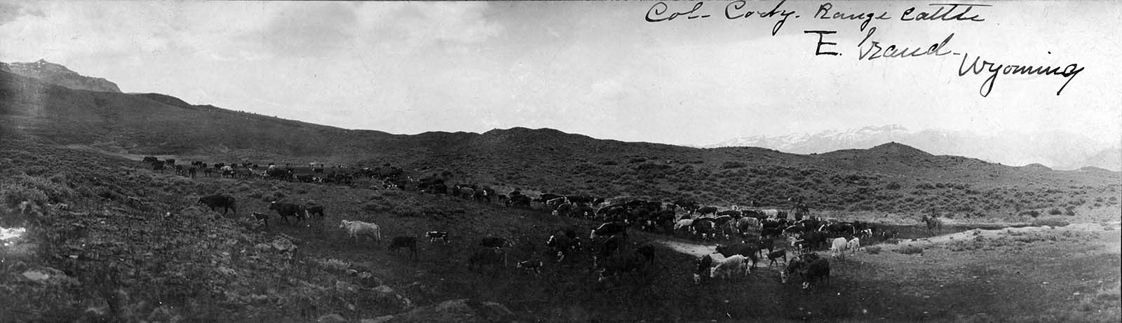 """William F. """"Buffalo Bill"""" Cody was one of the cattlemen on the South Fork: """"Col. Cody Range Cattle, TE Ranch, Wyoming."""" 1900-1920. MS 6 William F. Cody Collection, McCracken Research Library. P.6.1641"""