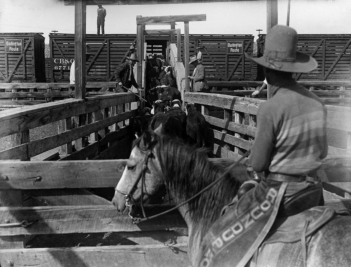 Happy Owen (with stick), Little Dan Wilson (on horse), and other cowboys load cattle into a stock car at the Cody Railroad, Station, stockyards, 1930-1939. MS 003 Charles Belden Collection, McCracken Research Library. PN.67.348