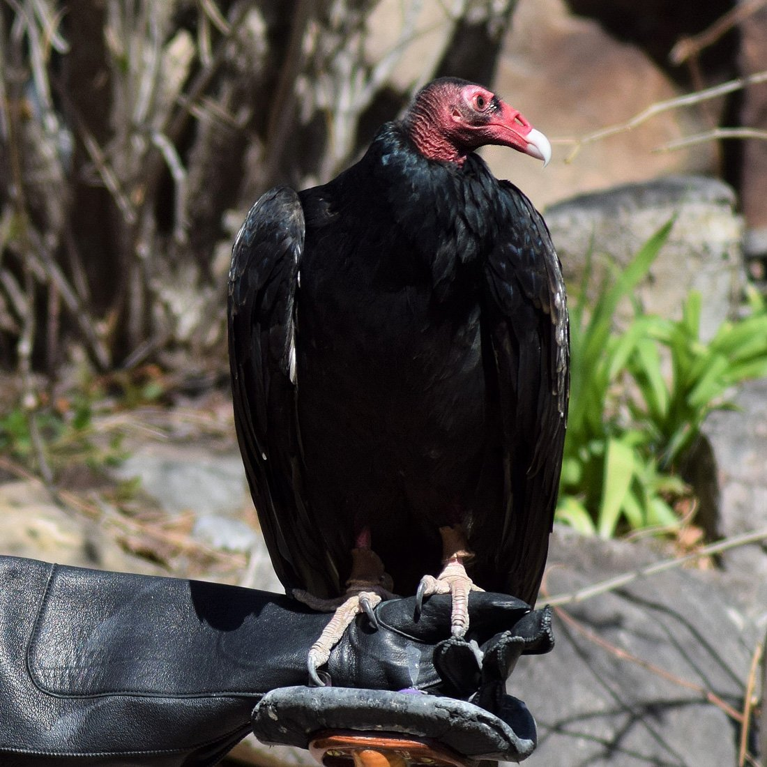 Photo of Suli, the Draper Museum Raptor Experiences Turkey Vulture, as she perches on a glove.