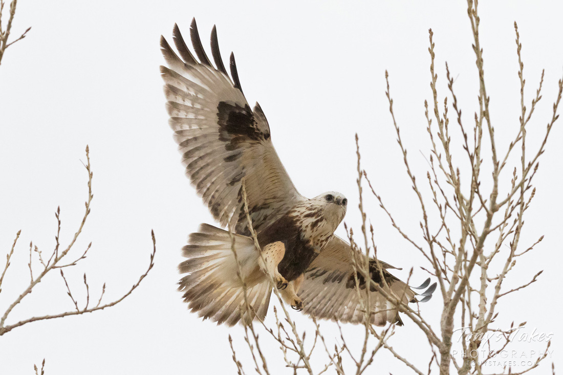 Rough-legged Hawk about to land in a tree, wings spread wide.