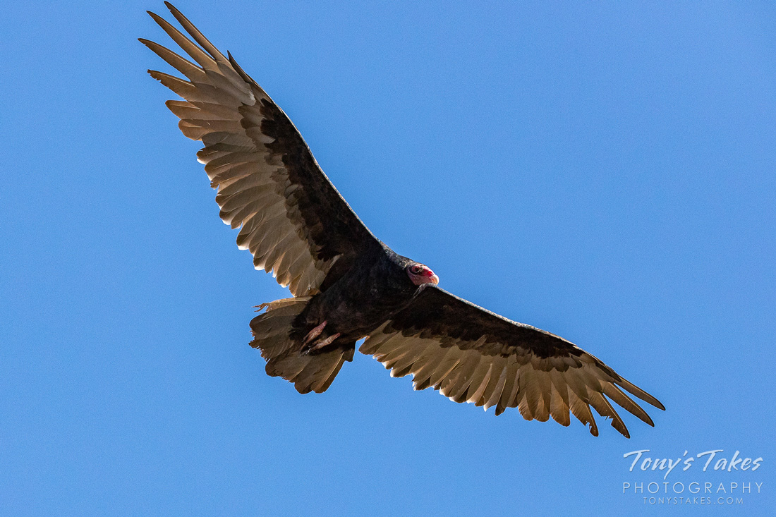 Turkey Vulture soaring, wings spread wide. Turkey Vultures use their sense of smell while searching for carrion.