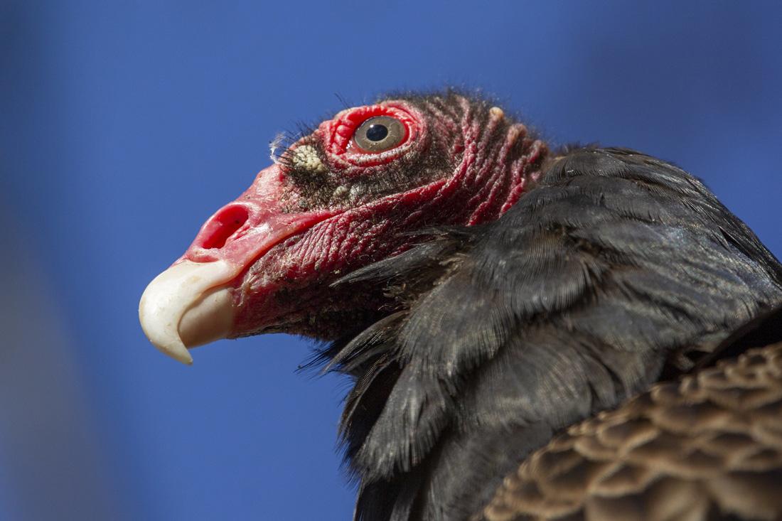 Head shot of a Turkey Vulture.
