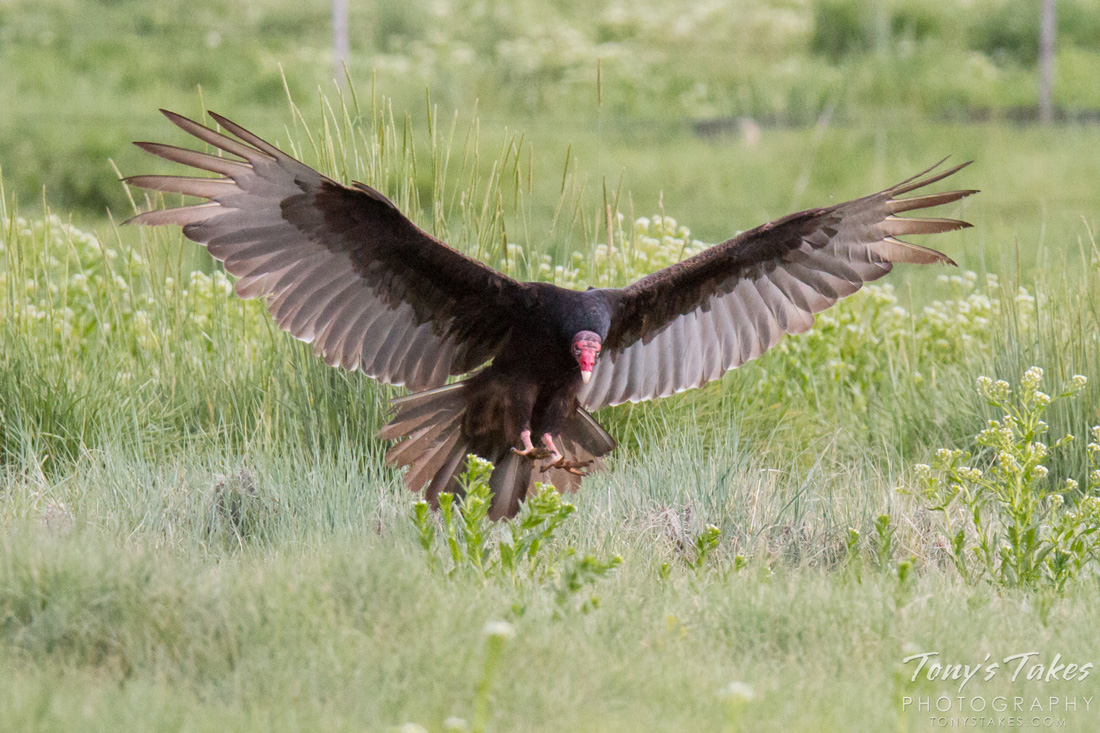 Turkey Vulture landing on the ground, wings outstretched. Its excellent sense of smell may have lead it to carrion.