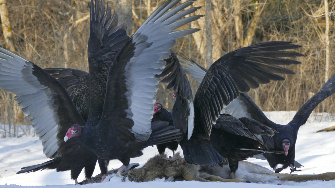 6-Turkey Vultures feeding on a dead deer. Using their sense of smell they find meals and will feed together.