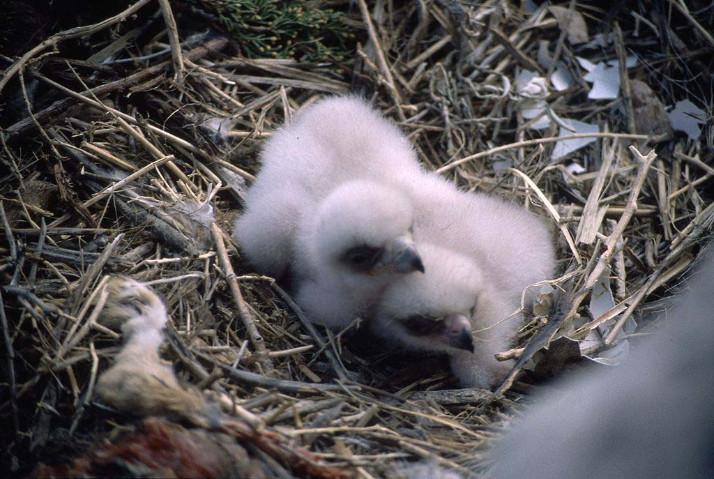 Golden eagle chicks. MS 301 Gabby Barrus Slide Collection, McCracken Research Library. SL.301.16.08
