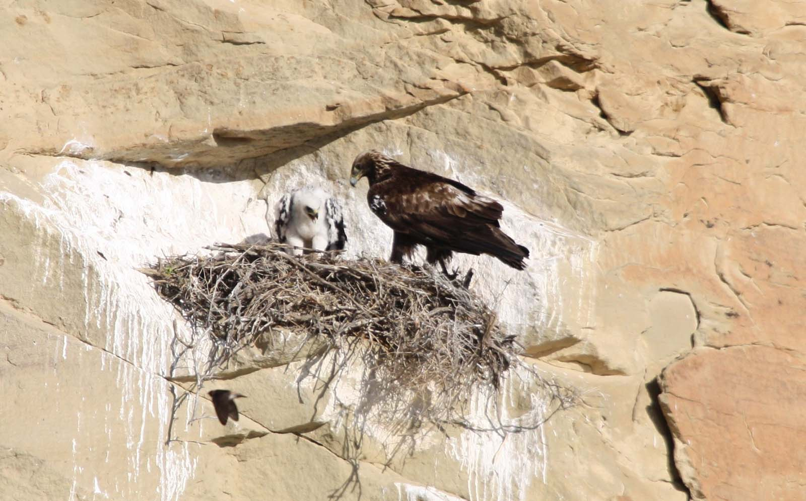 Golden Eagle Posse member Dale Schrickling caught this handsome parent watching over a nestling. Photo by Dale Schrickling.