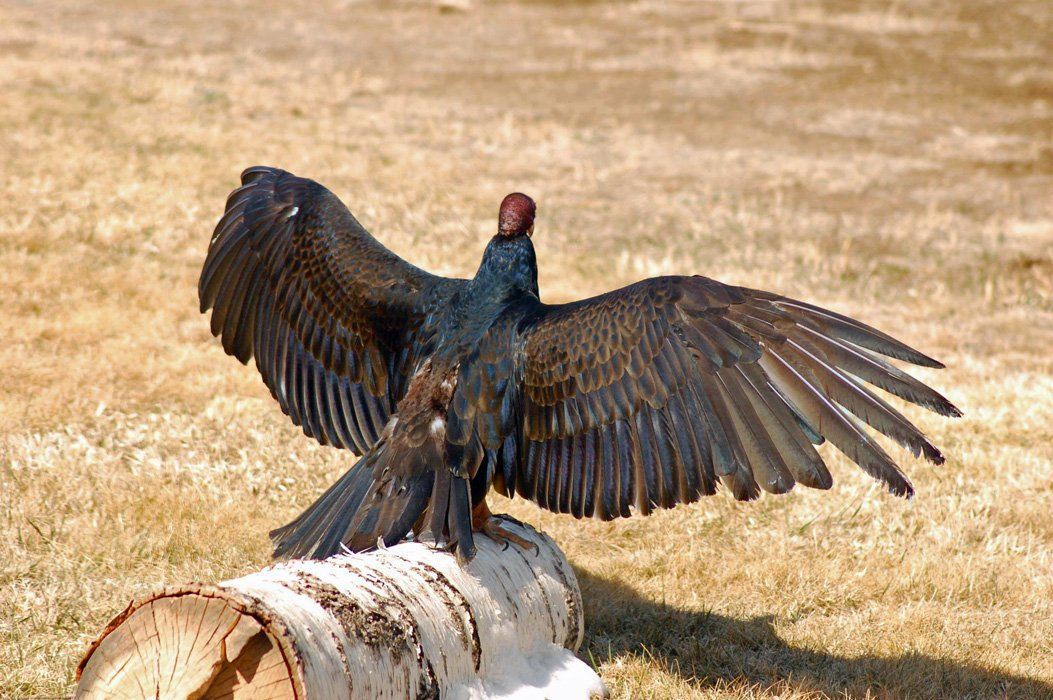 Turkey Vulture with wings outspread to demonstrate her iridescent colors.