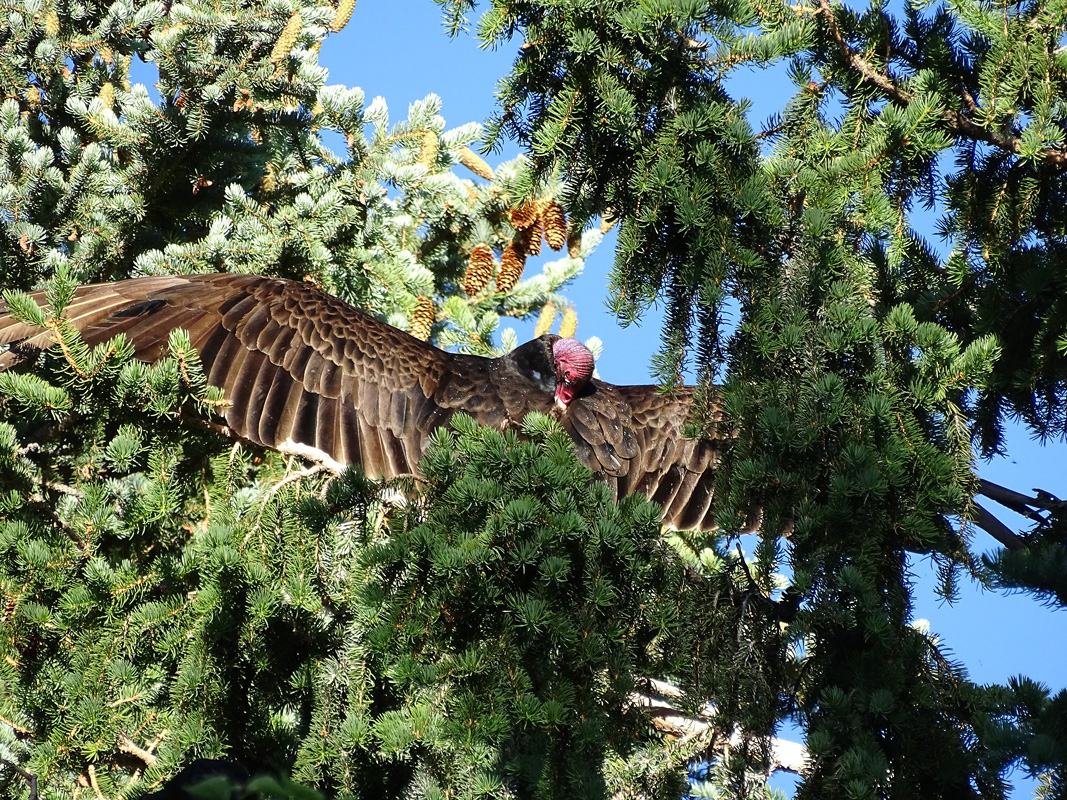 Turkey Vulture taking care of its feathers by preening.