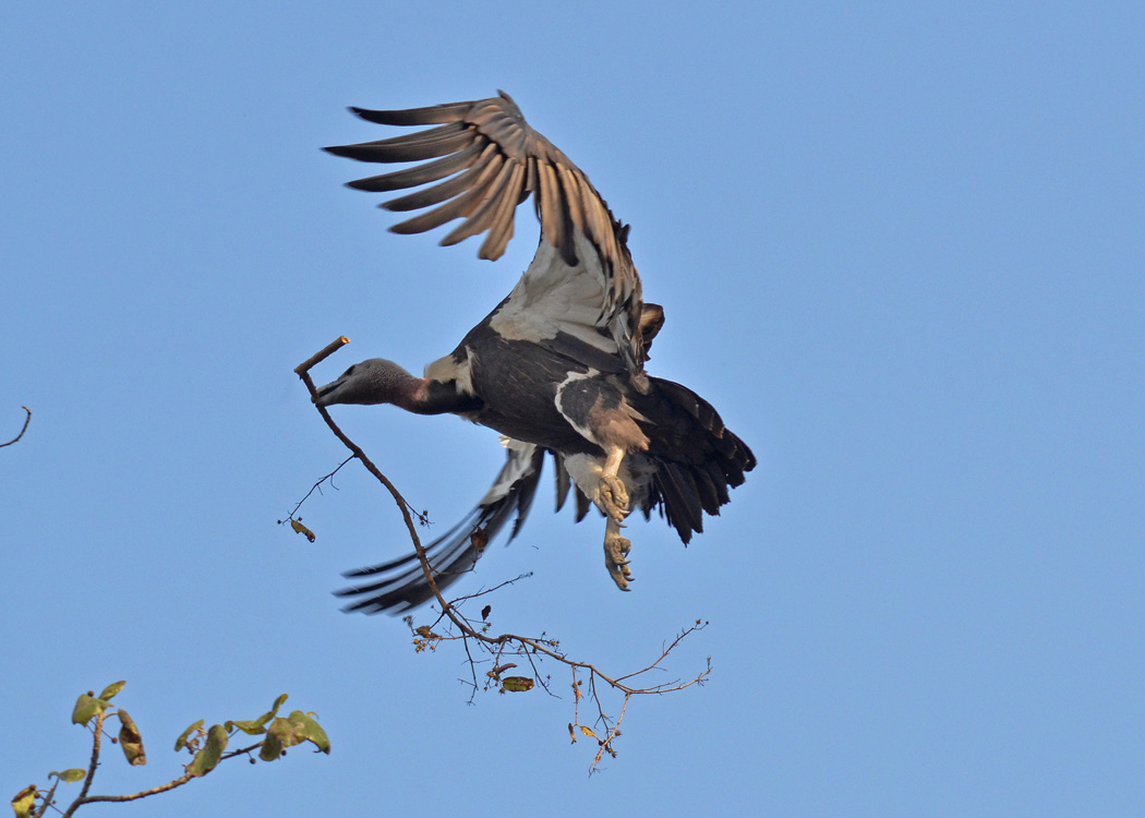 Vultures may vary in behavior, but all vultures world wide kill diseases.