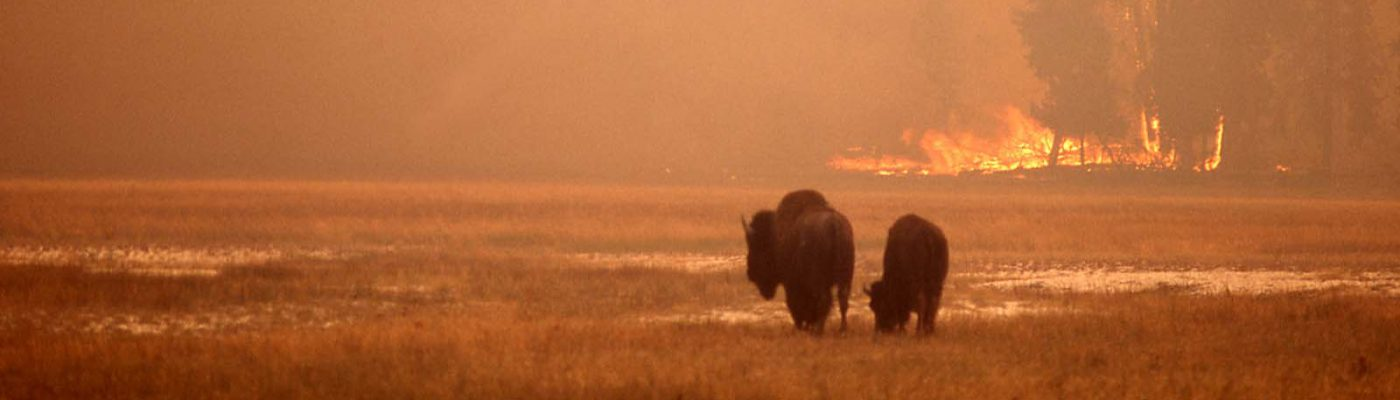 Bison in meadow, with ground fire in the background. National Park Service photo by Jeff Henry, 1988.