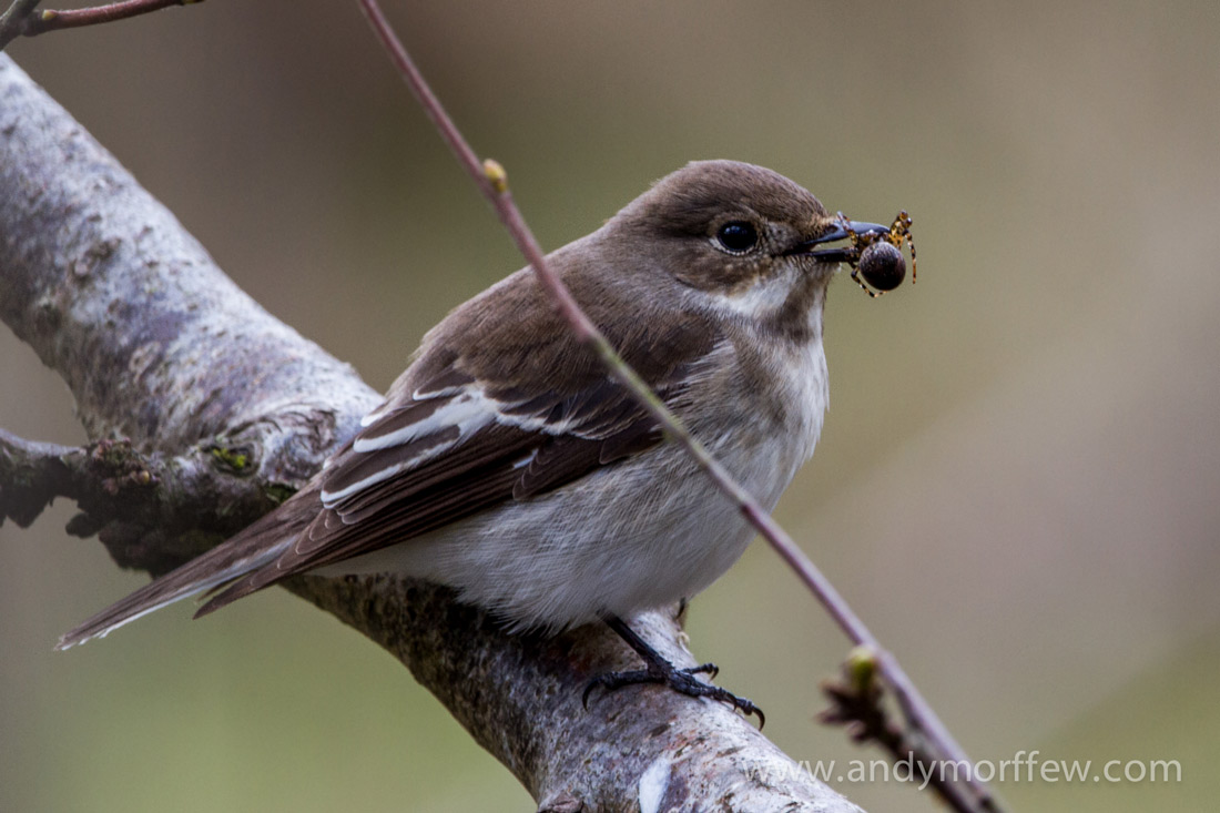 A Pied Flycatcher with a spider in its mouth to show that some birds dine on spiders.
