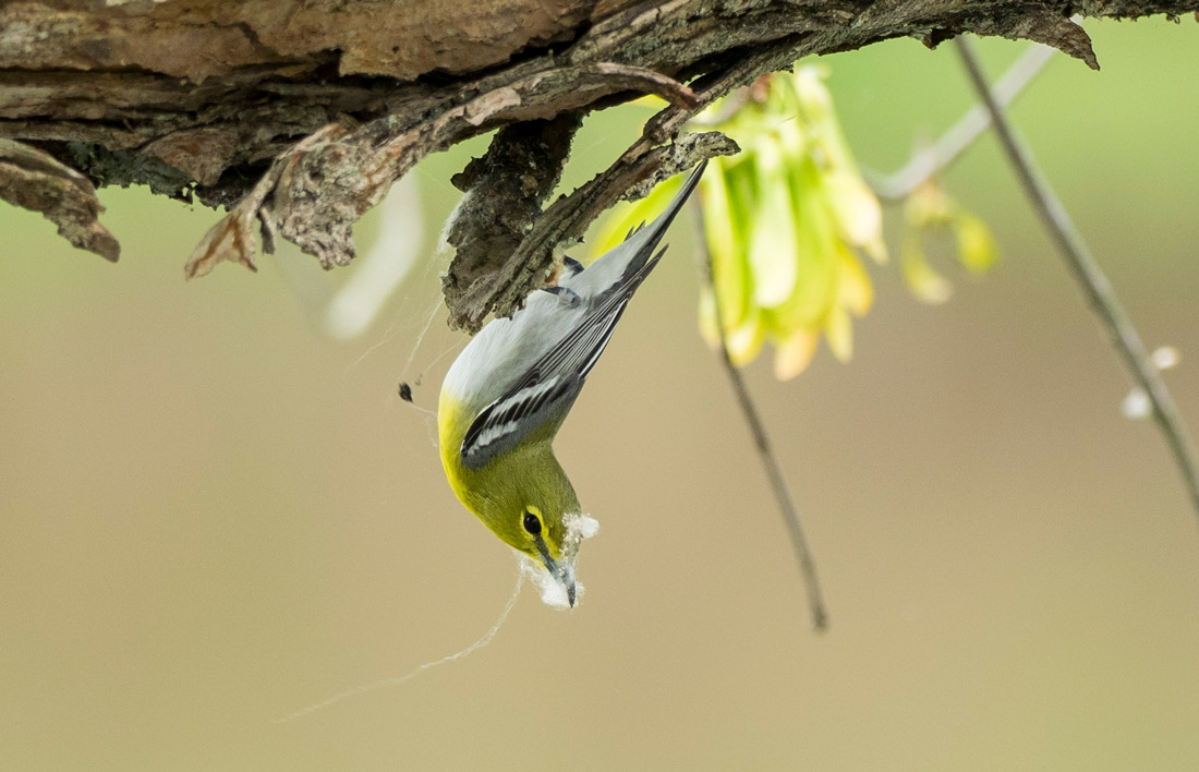A Yellow Throated Vireo hanging upside down with spider silk on its fact to illustrate a bird collecting silk from a spider web.
