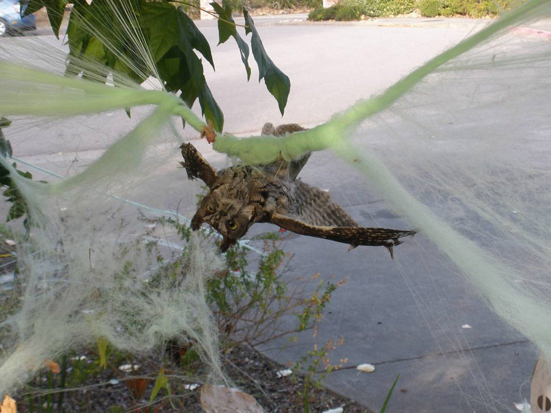 Photo of an owl entangled in and hanging upside down to demonstrate the dangers of fake webs hung outside as Halloween decorations.