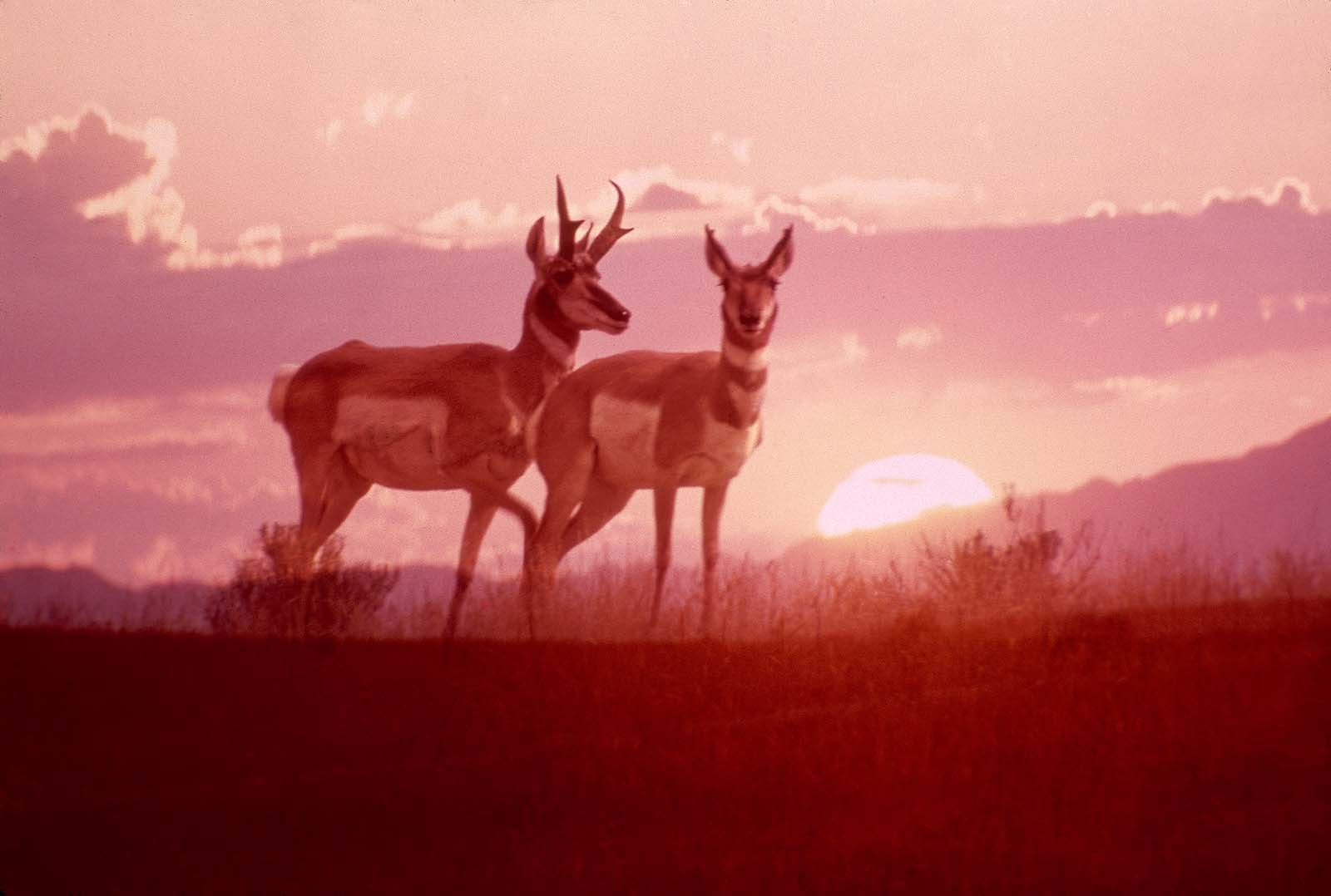 Pronghorn buck and doe at dusk. MS 301 Gabby Barrus Slide Collection, McCracken Research Library. SL.301.A.29