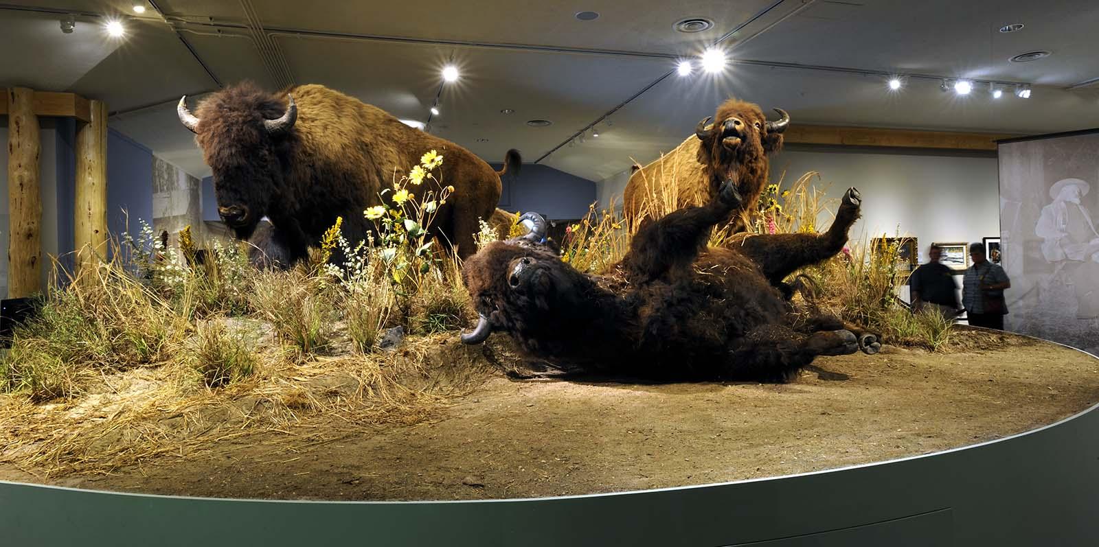 "Buffalo ""family,"" Buffalo Bill Museum, 2012."