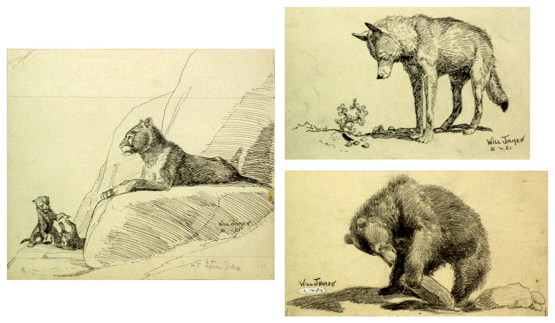 "James's work can often be characterized as ""simplified with crisp draftsmanship"" as in these sketches from Watched by Wild Animals, [Enos A. Mills, New York: Doubleday, Page & Co., 1922; not published]. Cabinet of American illustration. Library of Congress Prints and Photographs Division, Washington, DC 20540 USA. ""Looking for Small Favors."" 2010716934 / ""Coyote, Clown of the Prairies."" 2010716932 / ""The Mountain Lion."" 2010716933"