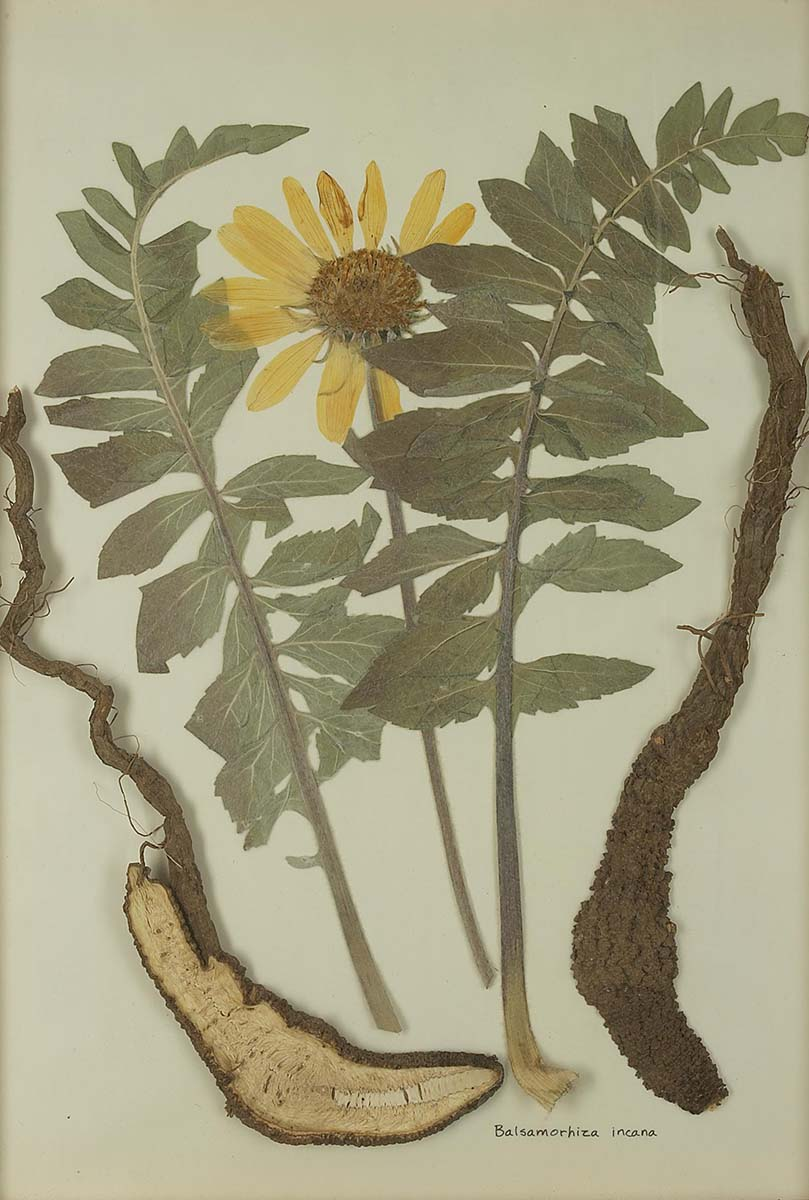 Balsamorhiza incana (balsamroot). NA.603.10