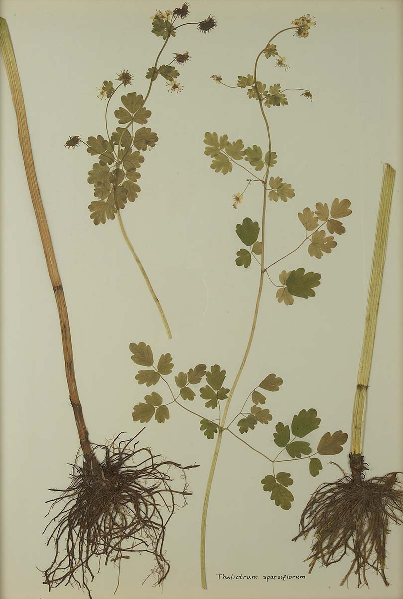 Thalictrum sparsiflorum (fewflower meadow-rue). NA.603.11