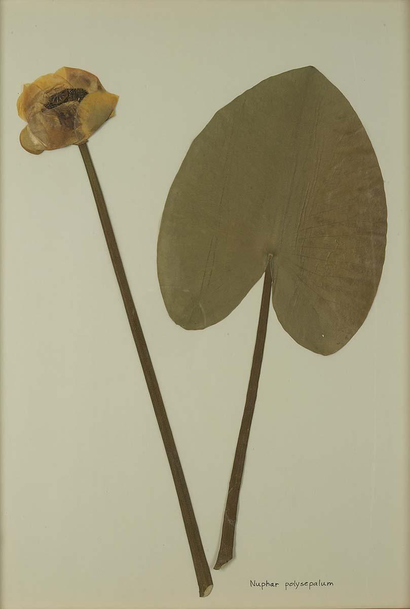 Nuphar polysepalum (yellow pond lily). NA.603.12