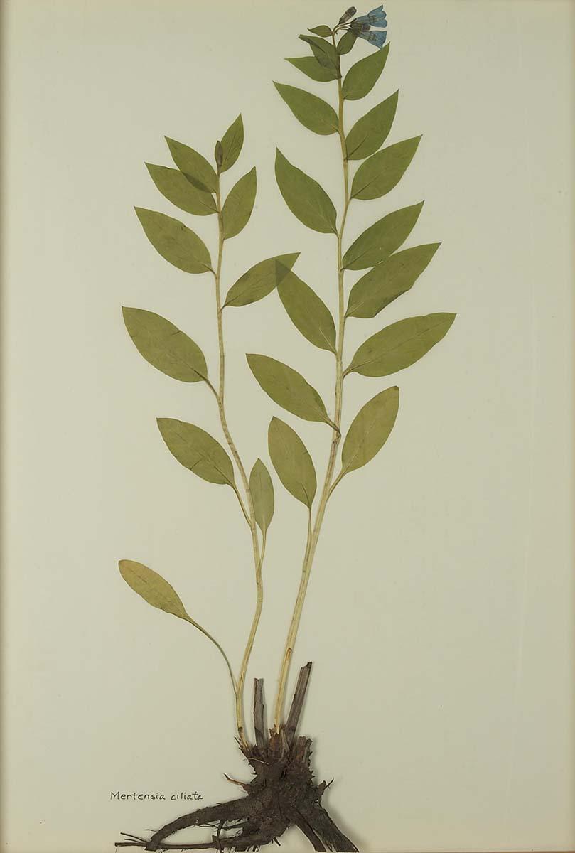 Mertensia ciliate (mountain bluebell). NA.603.15