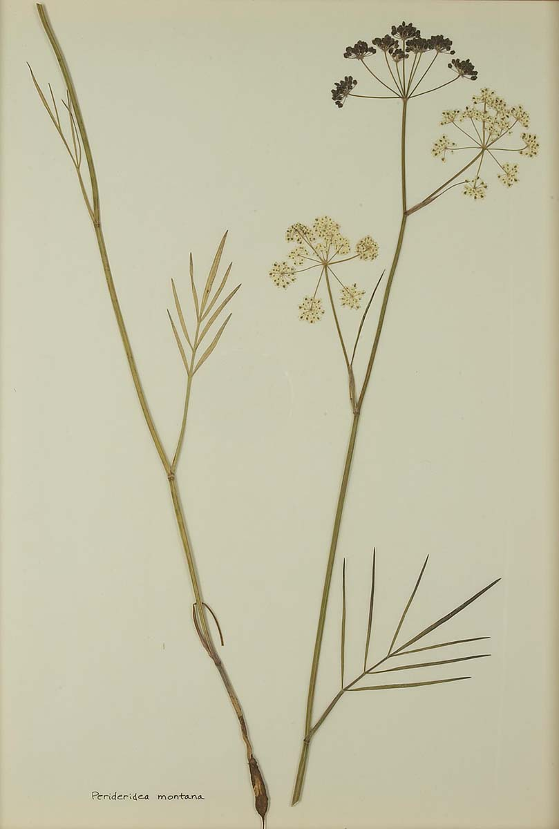 Perideridea montana (yampah, squawroot, wild caraway). NA.603.16