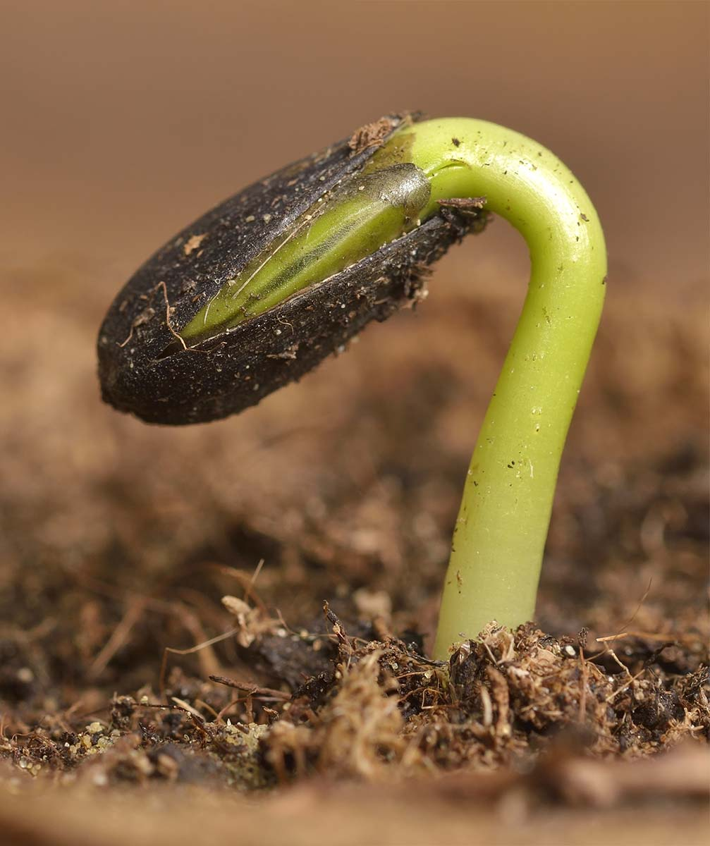 Sunflower seedling bursting from its seed casing.