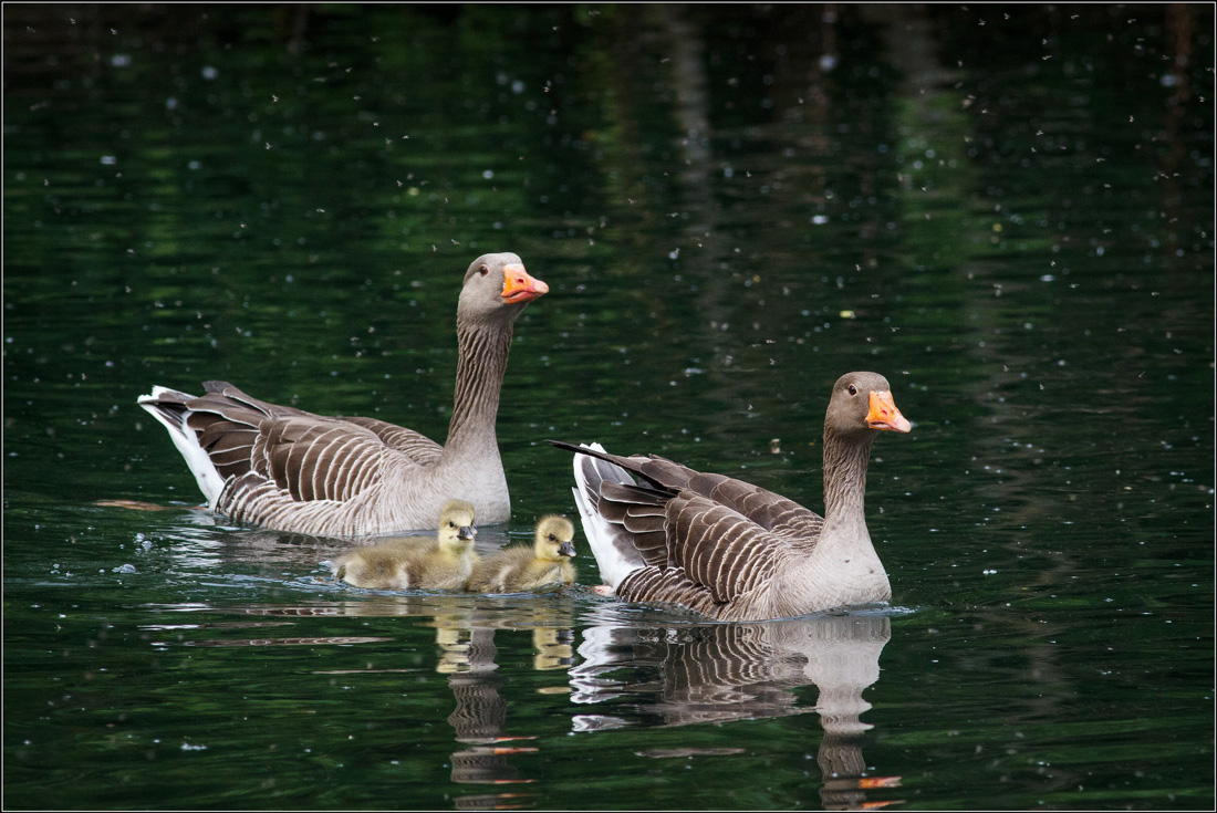 This photo of two Graylag Geese with two chicks demonstrates what the geese in the 12 Days of Christmas look like.