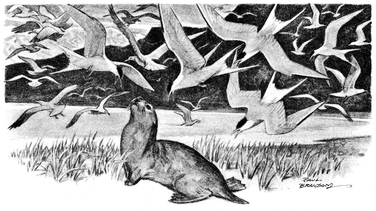 """From McCracken's """"The Last of the Sea Otters,"""" 1942."""