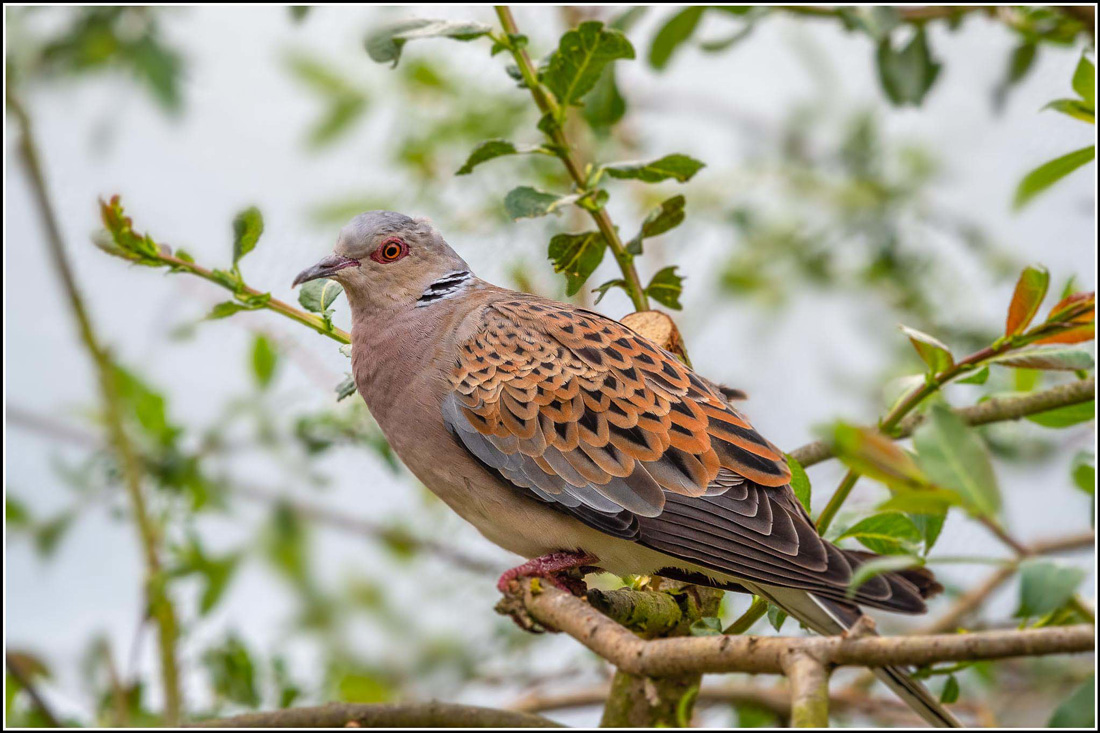Photo illustrates what the European Turtle Doves look like.