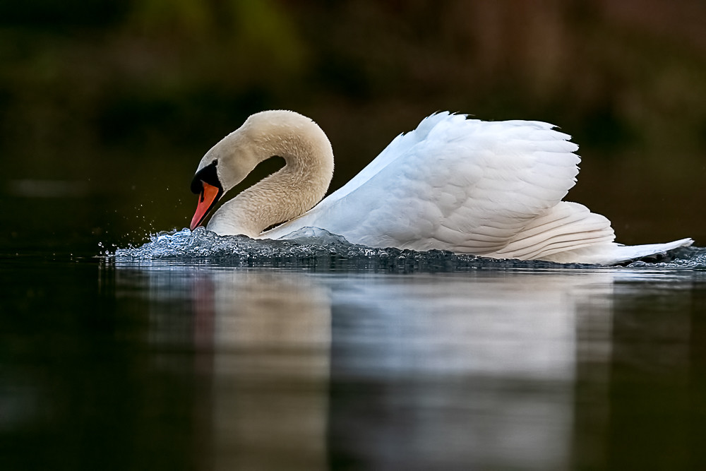 A photo of a Mute Swan to illustrate the swans in the 12 Days of Christmas.