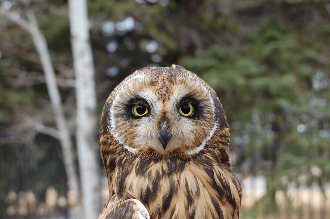 A head shot of the Draper Museum Raptor Experience's Short-eared Owl to demonstrate an owl that caches.